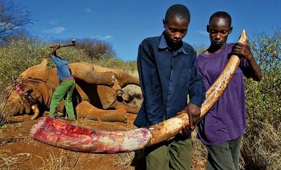 стоимость слоновой кости