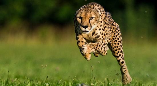 самое быстрое животное