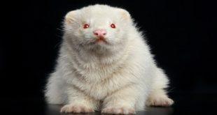 болезнь альбинос
