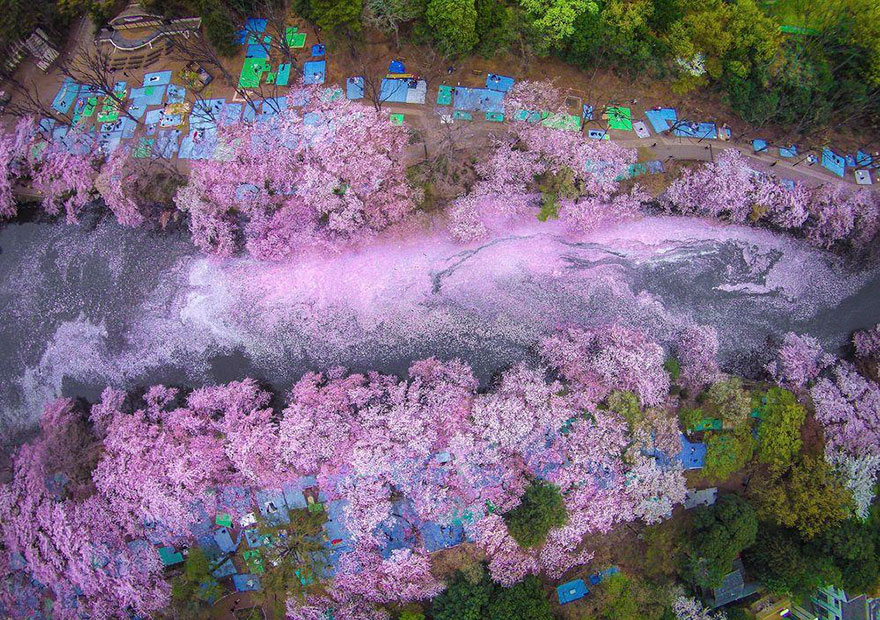 sakura-cherry-blossom-drone-photography-danilo-dungo-japan-4